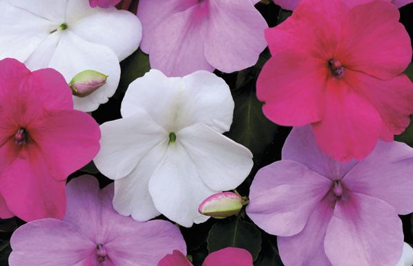 Walleriana fleur